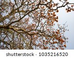 branch of blossoming bombax... | Shutterstock . vector #1035216520