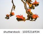 branch of blossoming bombax... | Shutterstock . vector #1035216934
