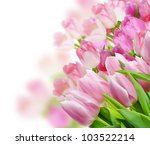 Colorful Tulips Flowers On White Background - stock photo