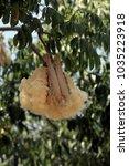 ceiba pentandra tropical tree... | Shutterstock . vector #1035223918