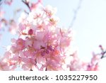 japanese cherry blossoms | Shutterstock . vector #1035227950