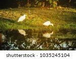 two white egret wading in the...   Shutterstock . vector #1035245104