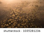 A Golden Sea Of Water Lilies ...