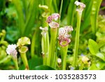 Macro Closeup Of Sarracenia...