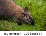 Wild Red Necked Wallaby
