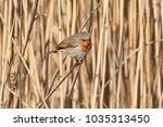 robin bird erithacus rubecula   ... | Shutterstock . vector #1035313450