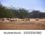 Blackbuck At Blackbuck Nationa...