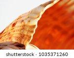 empty shell of sea snail ...   Shutterstock . vector #1035371260