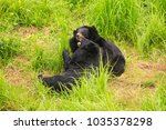 Small photo of big black bears gambol on high grass in zoo of tropical park in Asia