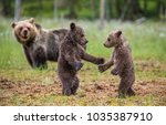 Two cubs play with each other next to the she-bear. Summer. Finland.