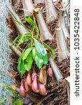 nepenthes. little predatory... | Shutterstock . vector #1035422848