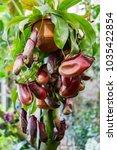 nepenthes. little predatory... | Shutterstock . vector #1035422854