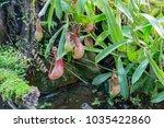 nepenthes. little predatory... | Shutterstock . vector #1035422860