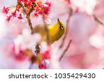 the japanese white eye.the... | Shutterstock . vector #1035429430