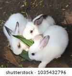 Stock photo three white rabbits in garden 1035432796