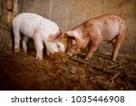 a small piglet in the farm.... | Shutterstock . vector #1035446908