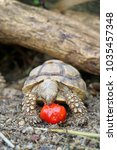 African Spurred Tortoise In...