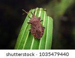 dock bug   coreus marginatus  ... | Shutterstock . vector #1035479440