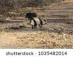 javelina in bosque del apache... | Shutterstock . vector #1035482014