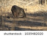 javelina in bosque del apache... | Shutterstock . vector #1035482020
