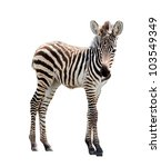 Stock photo young male zebra isolated on white background 103549349