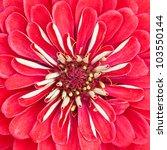 Red Zinnia Flower Close Up