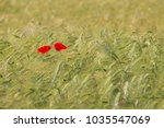 Two Beautiful Red Poppies In A...