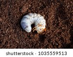 Stag Beetle Larva At Pupal Stage