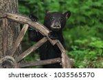 Black Bear Cub Looking At Me...