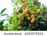 mandarin tree with ripe fruits. ... | Shutterstock . vector #1035572923