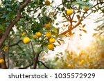 mandarin tree with ripe fruits. ... | Shutterstock . vector #1035572929