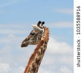 Close Up Of Giraffe  Head And...