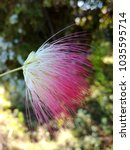 Small photo of Close up of a Albizia julibrissin (Persian silk tree, pink silk tree) flower.