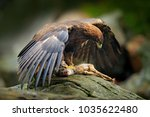 eagle catch deer. golden eagle  ... | Shutterstock . vector #1035622480