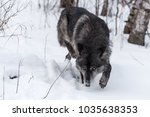 black phase grey wolf  canis... | Shutterstock . vector #1035638353
