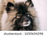 close up of keeshond ... | Shutterstock . vector #1035654298