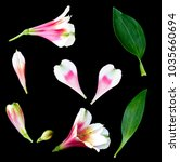alstroemeria  a pink and white... | Shutterstock . vector #1035660694