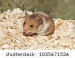 rat hamster pet cute    Shutterstock . vector #1035671536