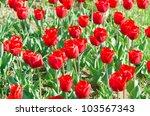 garden with tulip flowers in... | Shutterstock . vector #103567343