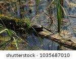 little river turtle crawls on... | Shutterstock . vector #1035687010