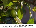 lemon trees green fruits with... | Shutterstock . vector #1035689578