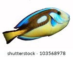 Small photo of Yellow-belly Blue tang (Acanthurus hepatus) isolated on white background