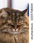 cute feline portrait. siberian... | Shutterstock . vector #1035708004