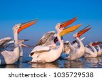 dalmatian pelican with long... | Shutterstock . vector #1035729538