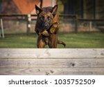 dutch shepherd dog jumping  | Shutterstock . vector #1035752509