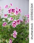 "geranium  ""angel eyes"" with... | Shutterstock . vector #1035832264"
