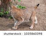 eurasian lynx  lynx lynx  is a...   Shutterstock . vector #1035860398