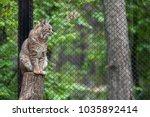eurasian lynx  lynx lynx  is a...   Shutterstock . vector #1035892414