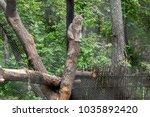 eurasian lynx  lynx lynx  is a...   Shutterstock . vector #1035892420