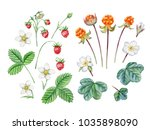 watercolor hand painted berries.... | Shutterstock . vector #1035898090